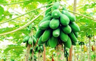 木瓜的养殖方法:对立地土壤要求不严