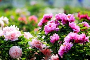 牡丹种子多久发芽:来年春分前后开始发芽