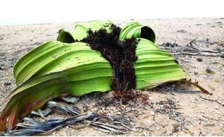 与恐龙同时代的植物活化石百岁兰:拥有植物界寿命最长的叶子