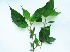 溪黄草的介绍,溪黄草茶的功效与作用
