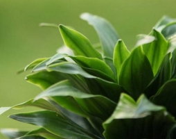 密叶朱蕉/太阳神的养殖方法:喜半阴喜高温高湿通风