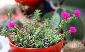 新手養花適合養什么花