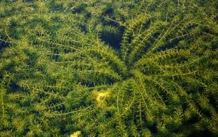 黑藻是什么生物