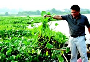 水葫芦的危害:破坏生态影响水质