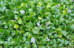 水葫芦的由来:原产于南美,属于外来物种