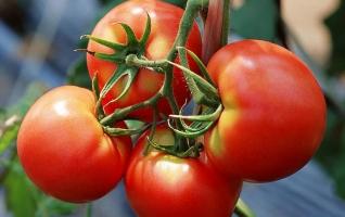 吃番茄能减肥吗:可以,可促进肠道蠕动,助脂肪燃烧