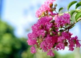 """紫薇是什么花:又叫""""百日红"""",为落叶小乔木或灌木"""