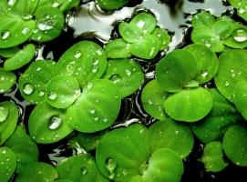浮萍是什么:一种浮萍科水生浮生植物,可做饲料
