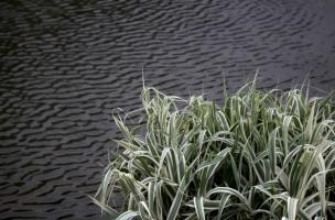 玉带草别名是什么:丝带草、五色带等,多年生宿根草本植物