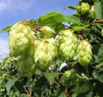 啤酒花是什么:又叫酵母花、酒花,可用于酿造啤酒和药用