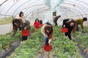 摘草莓的季节:自然成熟的草莓在2-3月,大丰收在4-5月