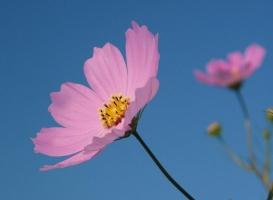 波斯菊什么时候播种:波斯菊常采用的播种的方式繁殖,在每年的4月份或10月份进行播种