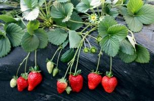 草莓品种有哪些:中国自主培育和从国外引进的新品种有200-300个
