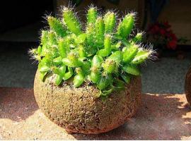 火龙果小盆栽怎么制作