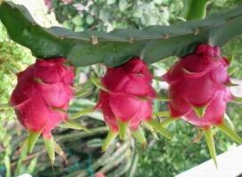 火龙果扦插繁殖:扦插的时间一般在春、秋两季都可以