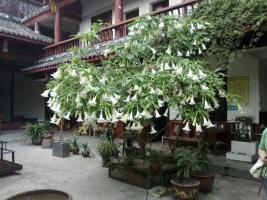 曼陀罗盆栽方法:曼陀罗喜温暖向阳环境,土壤以肥沃、排水良好的沙质土为佳