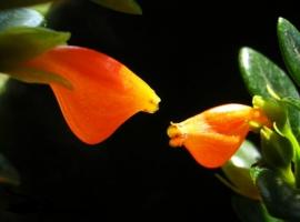 金鱼花的繁殖方式:金鱼花可以采用播种、扦插和分株这三种方式进行繁殖