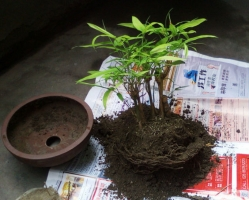 盆栽竹子怎么换盆:除寒冷地区外,竹子于早春二三月或中秋节前后分株最佳