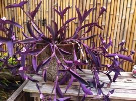 紫竹梅繁殖技术:紫竹梅的主要繁殖方式为扦插和分株