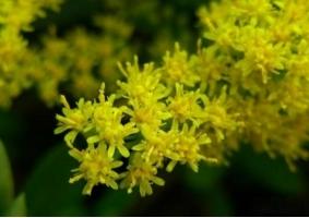 一枝黄花和加拿大一枝黄花有什么区别
