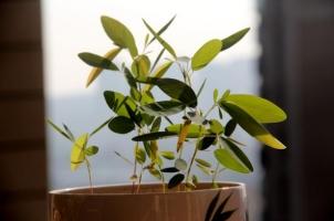 跳舞草怎么种:播种在一年四季都可以进行,在3-6月最好