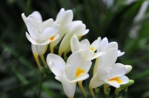 香雪兰什么时候种:香雪兰采用分栽地下球茎的方法进行繁殖,栽种期为9月上中旬