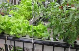 水培蔬菜怎么种植:蔬菜幼苗定植后只需定期添加营养液即可,冬天注意做保暖措施
