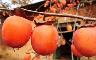 柿子什么时候成熟:柿子的成熟季节在十月左右,但不同的品种成熟时间有差异