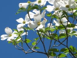四照花是什么:四照花别名山荔枝,石枣科植物,落叶乔木,原产于东亚