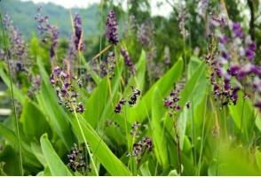 再力花是什么:竹芋科,多年生挺水草本