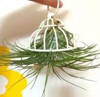 空气凤梨是什么:空气凤梨又名铁兰花,是地球上唯一可完全生长于空气中的澳门威尼斯人真钱