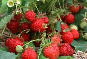 草莓种子种植方法:播种前要先进行催芽
