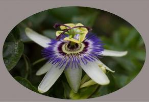 日轮花真的存在吗:不存在,所谓的日轮花不过是我们最常见的百香果的花