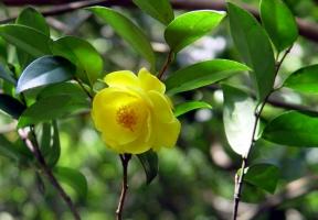 """植物界""""大熊猫""""——金花茶"""