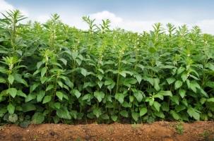 黑芝麻的种植方法:芝麻为喜温作物,其发芽、出苗要求稳定的适宜温度。