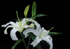香水百合和百合的区别:香水百合有香味,花瓣洁白无瑕;百合花无香味,花瓣有斑点