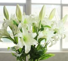香水百合花期:4-8月開花,花期可持續1周左右