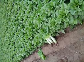 萵苣什么時候種植?萵苣種植技術