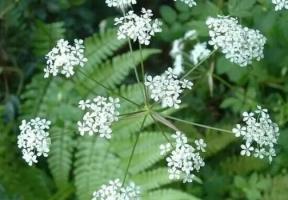 植物界隐形杀手毒芹