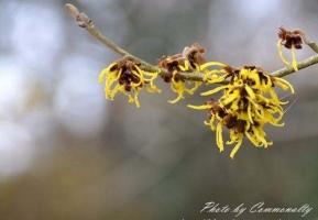 金缕梅的花期:金缕梅的花期早且长,一般为每年的十二月份到第二年的三月份