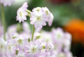 樱花草常见病虫害防治