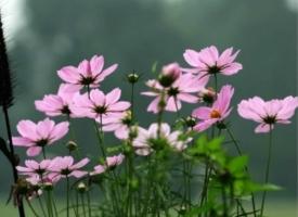 樱花草的养殖办法
