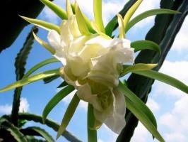 量天尺什么时候开花?怎样使量天尺开花?