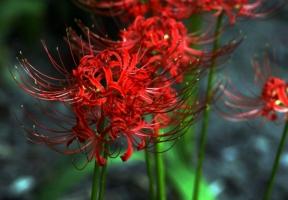 彼岸花的养殖方法及注意事项:彼岸花根茎有毒,会引致呕吐、痉挛等症状,不可随意食用