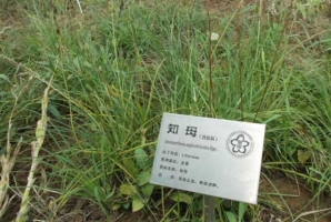 """知母的栽培技術:全國各地都有引種栽培;其中以易縣產的""""西陵知母""""為最著名"""