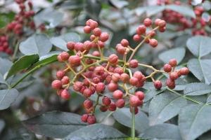 """花椒什么时候种:播种分春播和秋播;秋季在土壤封冻前播种;春播时间在""""春分""""前后"""