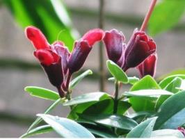 口红花的养殖方法和注意事项