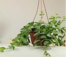 口红花什么时候开花:口红吊兰的花期一般是在当年的11月至翌年的6月