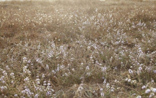 羊胡子草的功效与作用:清热燥湿、解毒。主治湿疹;黄水疮。