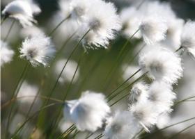 羊須草與羊胡子草的區別